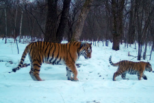 "Лазовка с тигрёнком. Март 2020 года. Фото: Виктор Кузьменко, с сайта Центра ""Амурский тигр"" amur-tiger.ru"