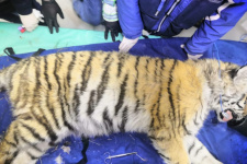 "Отловленный тигрёнок. Фото предоставлено Центром ""Амурский тигр"""