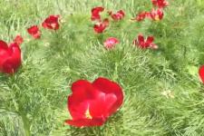 Цветение диких пионов в Ульяновской области