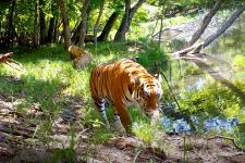 """Скриншот видео, предоставленного нацпарком """"Земля леопарда"""""""