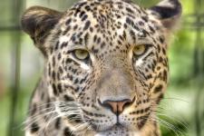 Переднеазиатский леопард. Фото: Alfred Hutter aka Gentry, wikimedia.org