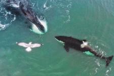 Редкое фото: извечные противники - гренландский кит и косатка - столкнулись нос к носу. К счастью, разошлись мирно. Фото: Юрий Смитюк