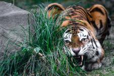Охота амурского тигра. Фото: Михаил Колесников