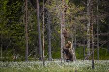 Карельские медведи. Фото: Алексей Сулоев