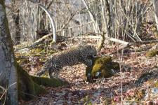 Переднеазиатский леопард. Фото: Умар Семёнов. Центр восстановления леопардов на Кавказе