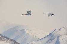 Туда, где зимуют лебеди. Фото: Светлана Кольцова