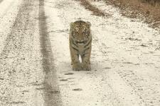 "Фото предоставлено пресс-службой Центра ""Амурский тигр"""