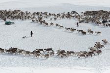 Погонять оленей. Фото: Светлана Горбатых