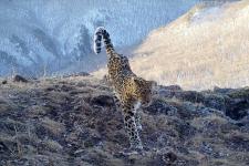 """Кадр с фотоловушки национального парка """"Земля леопарда"""""""