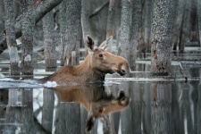 Лес и лось. Фото: Дмитрий Вилюнов