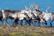 Жизнь командорских оленей. Фото: Алексей Перелыгин