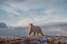 Белый медведь. Фото: Виталий Дворяченко, участник фотоконкурса РГО «Самая красивая страна»