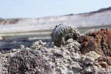 Небольшой верхнеюрский аммонит рода Perisphinctes в карьере Стойленского ГОКа. Фото: Михаил Рогов