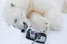Пока белый медведь спит, ученые изучают состояние его здоровья. Фото: Гавриил Григоров