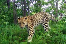 """Котёнок дальневосточного леопарда. Фото предоставлено ФГУП """"Земля леопарда"""""""