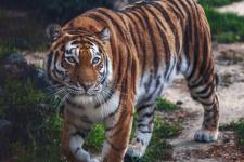 Амурский тигр. Фото: Олег Богданов
