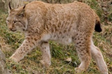 The lynx is a direct food competitor of the Amur leopard