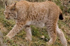 Рысь - прямой пищевой конкурент дальневосточного леопарда