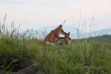 Fox cub with his mother. Photo: Anna Yachmennikova