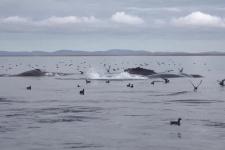 Краснокнижные виды крупных китообразных: местообитания и проблемы охраны в дальневосточных морях России