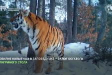 Кто сказал р-мяу? Тигры Сихотэ-Алинского заповедника