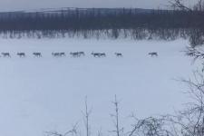Миграция северных оленей в Эвенкии