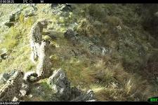 Играть днём и ночью: что любят котята снежного барса Саяно-Шушенского заповедника