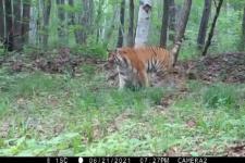 Тигриная гримаса с научным названием попала на видео в Приморье