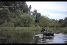 """""""Я здесь купаюсь"""": как лосиха прогнала уток из воды"""