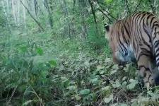 В Хинганском заповеднике могут встретиться самец и самка амурского тигра