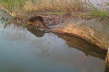Удачная рыбалка выдры в дельте Волги попала на видео