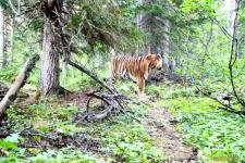 В фотоловушку попал самый северный тигр