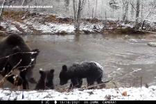 """Медведи-""""моржи"""" встретили заплывом первый снег в Сихотэ-Алинском заповеднике"""