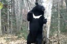 Медведь-почесун