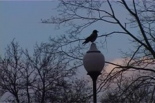 Страна Птиц Вороны Большого Города