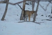Учёт амурского тигра - 2015