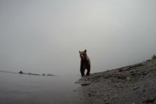 Загляни в пасть медведю!