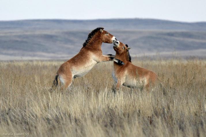 Лошадь Пржевальского. Возвращение в Оренбургские степи