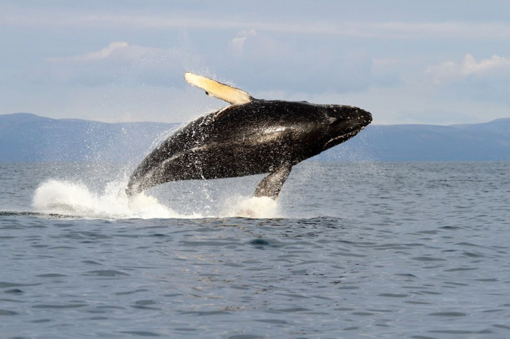 Горбатый кит. Фото: Евгений Мамаев