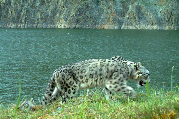 Swimming Snow The Swimming Snow Leopard