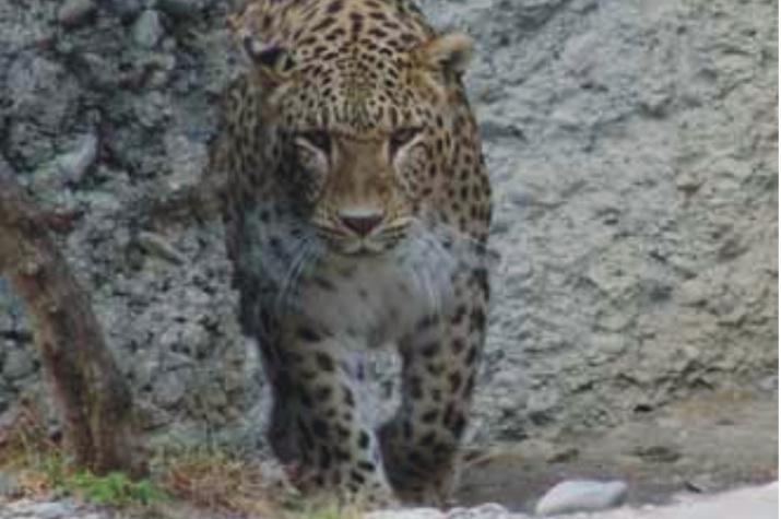 Леопард в горах Кавказа