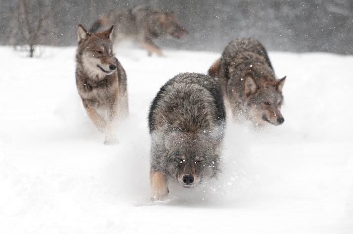 Волчья стая. Фото: Сергей Горшков