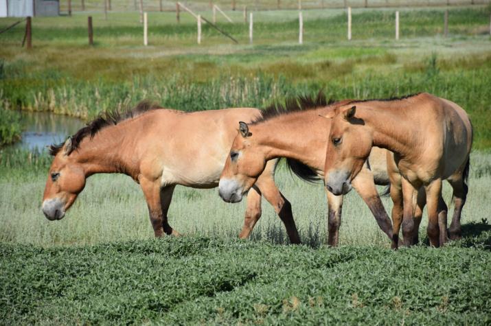 Лошади Пржевальского в Оренбургском заповеднике. Фото: Александр Чибилёв
