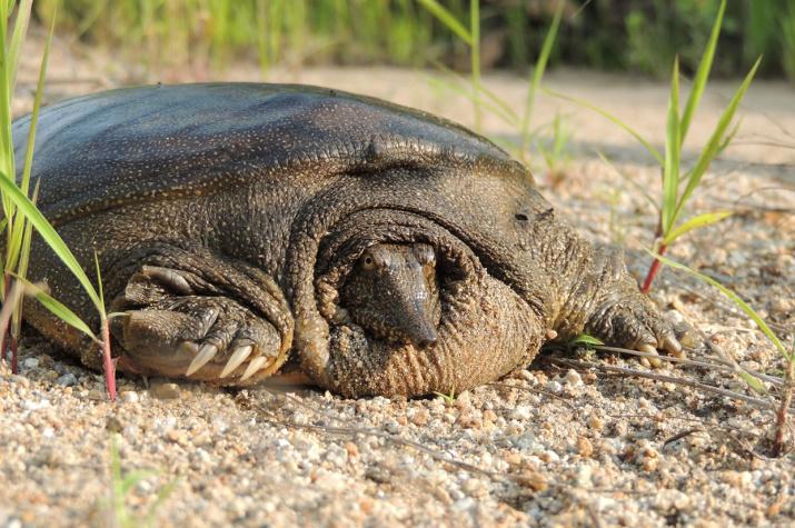 Портрет черепахи. Фото: Маслова И.В.