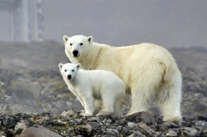 Polar bears on the island of Hooker. Photo by M. Ivanov