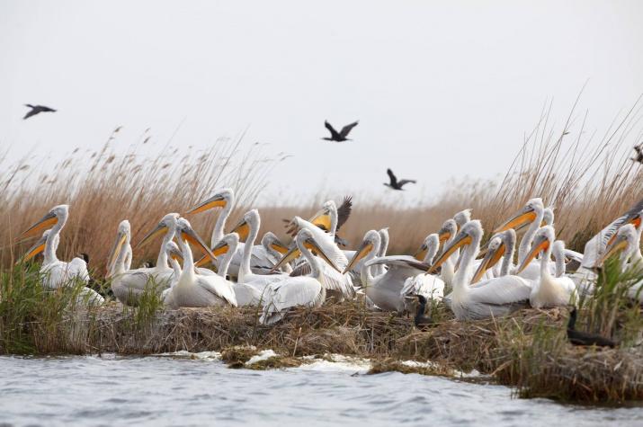 Кудрявые пеликаны. Фото Алексея Данилкина.