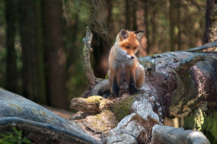 Little fox. Photo by Sergey Kuznetsov