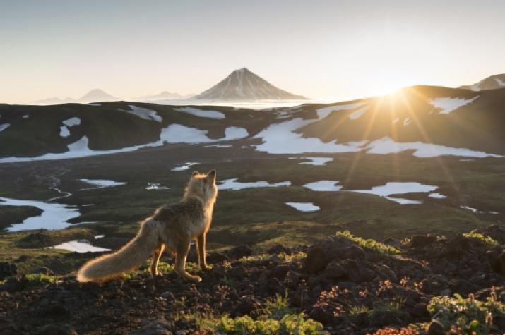 A wise fox meeting sunrise. Photo by Alexander Zus