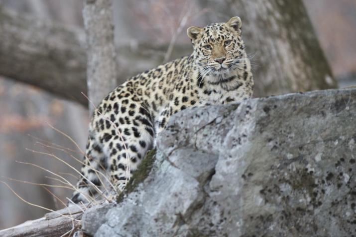 Автор: Валерий Малеев. Фото предоставлено АНО ''Дальневосточный леопард''