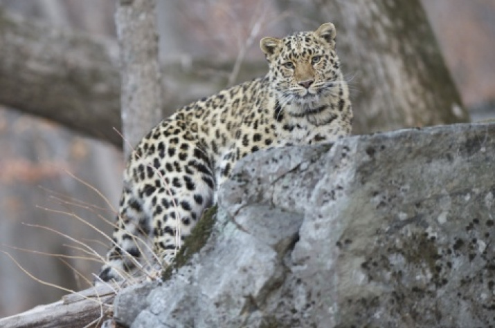 """Photo by: Valery Maleev. Provided by the  """"Far Eastern Leopard"""" organization"""